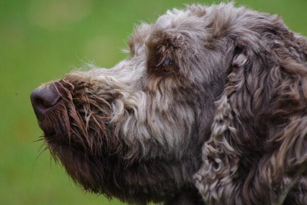 Brave hond 1